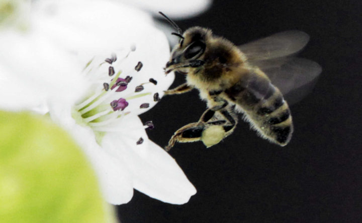 Maine bill would limit use of pesticides linked to bee deaths — State — Bangor Daily News — BDN Maine 3
