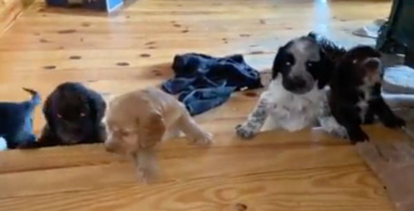 Pandemic relief: Enjoy some adorable baby bird dogs from Maine