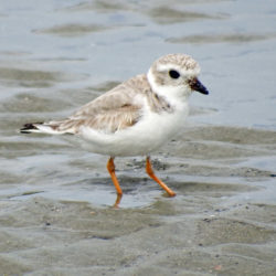 Record number of piping plovers nesting at Maine beaches