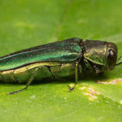 Mainers asked to watch for invasive emerald ash borer