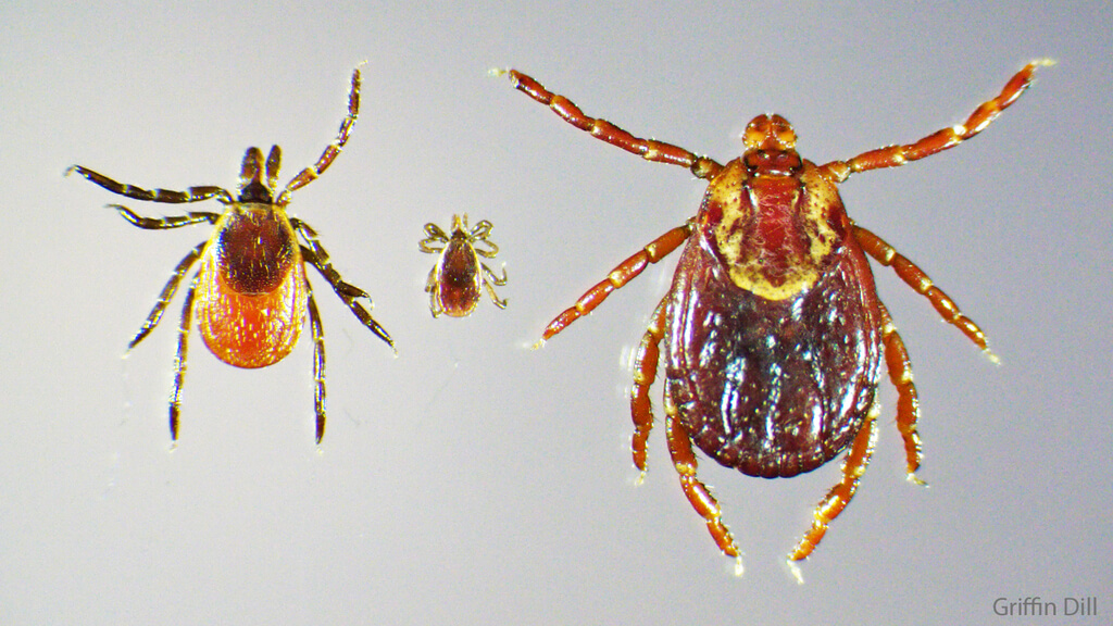 Maine's dog tick population is exploding this spring